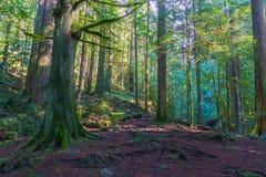Slingan till och med högväxta träd i våta nedgångar för en skogcypress parkerar British Columbia Kanada Royaltyfria Bilder