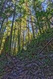 Slingan till och med högväxta träd i våta nedgångar för en skogcypress parkerar British Columbia Kanada Royaltyfria Foton