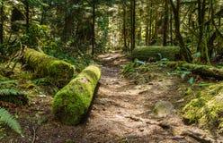 Slingan till och med högväxta träd i våta nedgångar för en skogcypress parkerar British Columbia Kanada Arkivbild