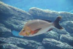 Slinger fish (Chrysoblephus puniceus) Stock Photo