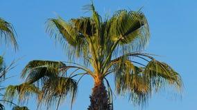 Slingerend door windbladeren van palm, bovenkant van palm in zonnige dag stock footage