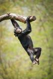 Slingerende Chimpansee II Stock Foto's