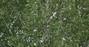 Slingerende groene bladeren van berk in sterke wind De zomerachtergrond stock videobeelden