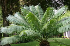 Slingerende Palmbladen Stock Afbeelding