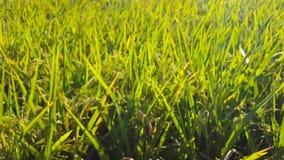 Slingerende rijst toe te schrijven aan sterke winden in het padieveld van een landbouwer stock video