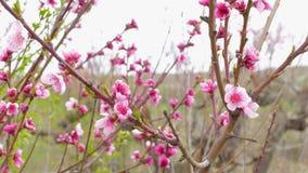 Slingerende takken van bloeiende perzikboom stock footage