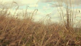 Slingeringen van het landschaps de droge gras in de aard van de windbeweging stock video