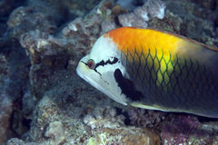 Slingjaw wrasse Royalty Free Stock Images