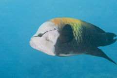 Slingjaw Wrasse Royalty Free Stock Photography
