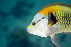 Slingjaw wrasse (epibulus insidiator). Taken in Middle Garden Stock Photos
