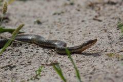 Slingra sig lös huggorm i sanden white för orm för bakgrundsillustration giftig Arkivbilder