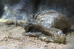 Slingra träsket efter ormen som ruggar, att ömsa som utgjuter Arkivfoton