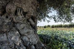 Slingrig och massiv olivträd Royaltyfria Bilder