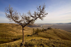 Slingshot-like bare tree. Russia, South Ural, Kutantau ridge near Magnitogorsk city royalty free stock photos
