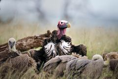 Slip onder ogen gezien gier in Zuid-Afrika stock fotografie