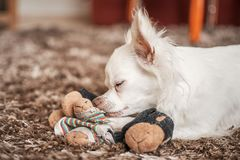 Sliping liten hund på leksaken Royaltyfria Bilder