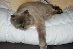 Sliping Scottish Cat. Scottish cat laying and sliping on the white blanket Royalty Free Stock Photos