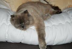 Sliping Scottish Cat. Scottish cat laying and sliping on the white blanket royalty free stock photos