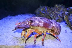 Slipper Lobster walking Royalty Free Stock Image