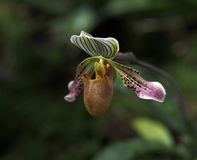 Slipper Orchid In Bloom Royalty Free Stock Images
