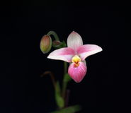 Slipper Orchid In Bloom Royalty Free Stock Photos
