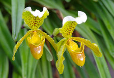 Slipper Orchid Royalty Free Stock Image