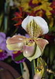 Slipper Orchid Stock Image