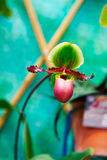 Slipper Orchids Stock Photos