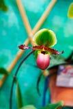 Slipper Orchids Stock Photos