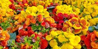 Slipperwort Flower In Garden Royalty Free Stock Photography
