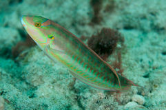 Slippery Dick. Halichoeres bivittatus, picture taken in south east Florida Royalty Free Stock Images