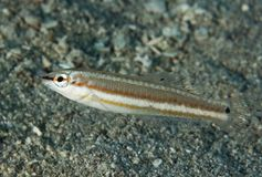 Slippery Dick. Halichoeres bivittatus picture taken in south east Florida Royalty Free Stock Image