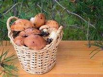 Slippery jacks mushrooms in the basket under pine tree Royalty Free Stock Images