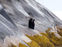 Slippery Slope. Brown bear near Juneau, Alaska walking along a steep rock face on a rainy day royalty free stock photo