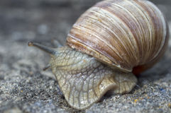 Slippery snail with a shell is in hurry Stock Photography