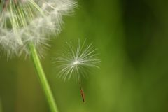 Slipping away. A dandelion seed falling on green Stock Photos