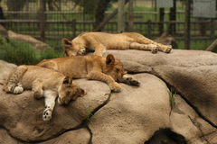 Slipping baby lions, South Africa Royalty Free Stock Images