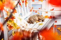 Slipping cat at the white bench. View view through maple leaves. Stock Image