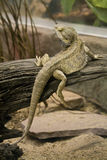 Slipping Reptile. A lizard slips off a branch Stock Photo