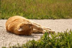 Slipping yellow cat Royalty Free Stock Images