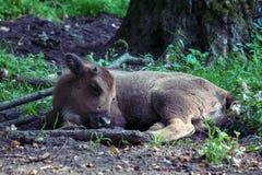 Slipping zubr European bison Royalty Free Stock Photos