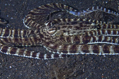 Slithering Mimic Octopus Stock Photos