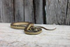 Slithering podwiązka wąż Obrazy Stock