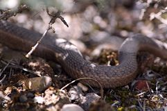 Slithering Snake. A snake slithers by through brush across the ground Stock Photos