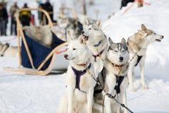 Slitta-cani del husky Fotografie Stock Libere da Diritti