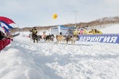 Slitta tirata da cani Beringia di corsa di Kamchatka Immagine Stock Libera da Diritti