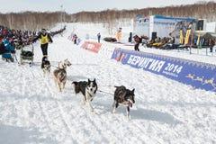 Slitta tirata da cani Beringia di corsa di Kamchatka Fotografia Stock Libera da Diritti