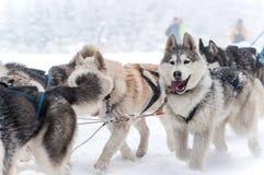 Slitta tirata da cani che corre con i husky Immagini Stock Libere da Diritti