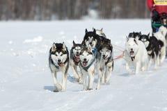 Slitta tirata da cani estrema Beringia di corsa di Kamchatka L'Estremo Oriente russo Fotografie Stock