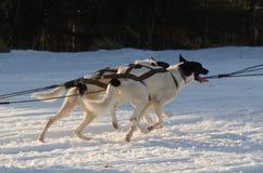 Slitta trainata dai cani d'Alasca dei husky sulla traccia Sedivacek lungo Fotografie Stock